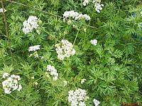 Anthriscus sylvestris Купырь лесной